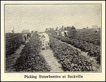 strawberry farm in Sackville (circa 1930)